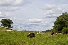 Vacas que descansam em um prado Imagens de Stock