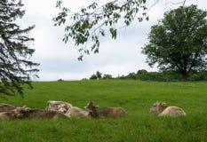 Vacas que descansan en campo Foto de archivo