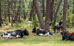Vacas que descansan en la hierba en el bosque Foto de archivo libre de regalías