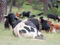 Vacas que descansan en la hierba en el bosque Imágenes de archivo libres de regalías