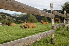 Vacas que descansan en un prado verde Imágenes de archivo libres de regalías