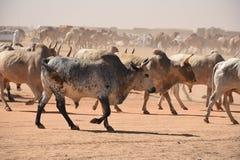 Vacas que dirigem para introduzir no mercado em Khartoum foto de stock royalty free
