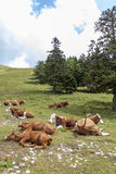 Vacas que encontram-se no pasto das montanhas Imagens de Stock Royalty Free