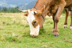 Vacas que estão no campo verde com montanhas e que comem a grama Fundo de Carpathians Imagens de Stock Royalty Free