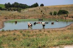 Vacas que freshening no lago Fotografia de Stock Royalty Free
