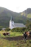 Vacas que hacen frente a la iglesia de Varlberg Foto de archivo