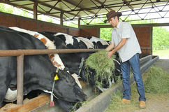 Vacas que introducen del granjero Imágenes de archivo libres de regalías