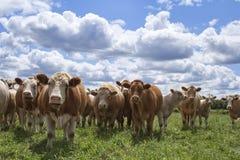 Vacas que le miran Fotografía de archivo libre de regalías