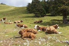 Vacas que mienten en pasto de las montañas Imágenes de archivo libres de regalías