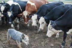 Vacas que miran fijamente un perro australiano del ganado Imágenes de archivo libres de regalías