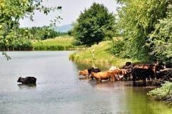 Vacas que nadan en el lago Imagenes de archivo