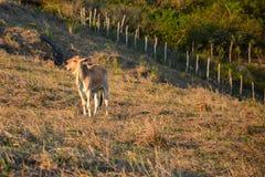 Vacas que pastam em campos abertos no campo no nordeste de Brazilimagem de stock