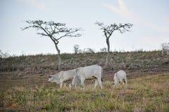 Vacas que pastam em campos abertos no campo no nordeste de Brazilfotografia de stock royalty free