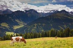 Vacas que pastam em prados altamente nas montanhas fotografia de stock