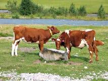 Vacas que pastam em um campo Foto de Stock