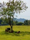 Vacas que pastam em um campo verde fresco na sombra da árvore imagem de stock
