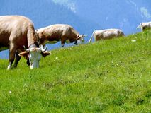 Vacas que pastam em um monte verde fotos de stock royalty free