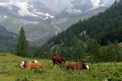 Vacas que pastam em um pasto Foto de Stock