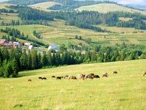 Vacas que pastam em um pasto em Carpathians, Ucrânia Fotos de Stock