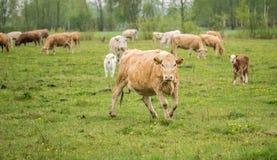 Vacas que pastam em um prado em um dia chuvoso da mola fotos de stock