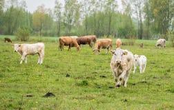 Vacas que pastam em um prado em um dia chuvoso da mola imagens de stock royalty free