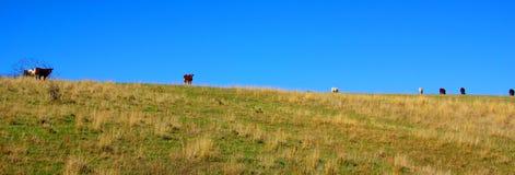 Vacas que pastam em um Ridge gramíneo Fotografia de Stock Royalty Free