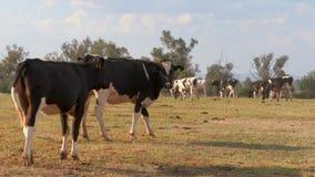 Vacas que pastam em uma exploração agrícola de leiteria vídeos de arquivo