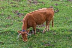 Vacas que pastam nas montanhas Fotografia de Stock
