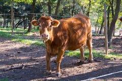 Vacas que pastam nas montanhas Fotos de Stock