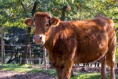 Vacas que pastam nas montanhas Foto de Stock
