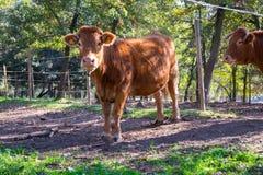 Vacas que pastam nas montanhas Imagens de Stock Royalty Free