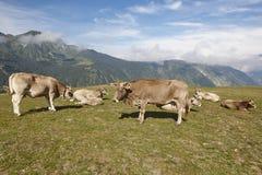Vacas que pastam nas montanhas livestock Paisagem idílico gado foto de stock