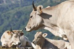 Vacas que pastam nas montanhas livestock Paisagem idílico Gato foto de stock royalty free
