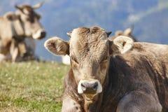 Vacas que pastam nas montanhas livestock Paisagem idílico Gato fotografia de stock royalty free