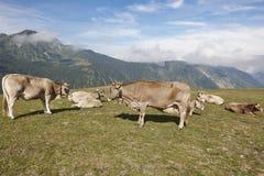 Vacas que pastam nas montanhas livestock Paisagem idílico Gato imagens de stock royalty free
