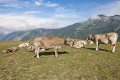 Vacas que pastam nas montanhas livestock Paisagem idílico Gato imagem de stock