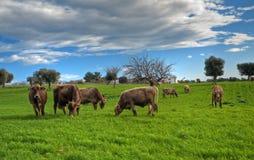 Vacas que pastam no campo apulian. Fotos de Stock Royalty Free