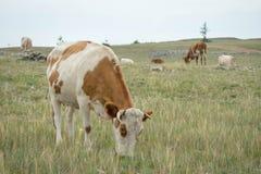 Vacas que pastam no estepe imagens de stock