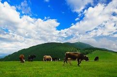 Vacas que pastam no prado da montanha Fotos de Stock Royalty Free