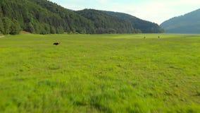 Vacas que pastam no prado da poluição Metragem aérea filme