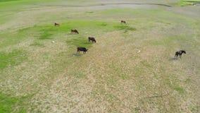 Vacas que pastam no prado da poluição Situação da ecologia Metragem aérea filme
