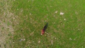 Vacas que pastam no prado da poluição Situação da ecologia Metragem aérea vídeos de arquivo