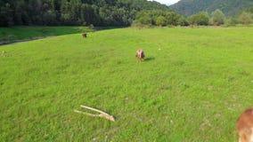 Vacas que pastam no prado Metragem aérea vídeos de arquivo