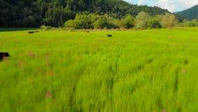 Vacas que pastam no prado Metragem aérea video estoque