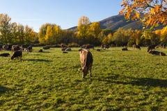 Vacas que pastam no prado montanhoso da paisagem outonal imagem de stock