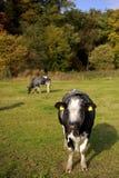 Vacas que pastan Fotografía de archivo