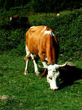 Vacas que pastan foto de archivo libre de regalías