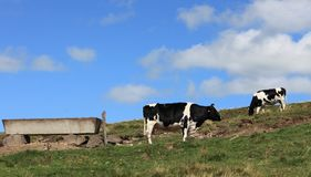 Vacas que pastan Fotos de archivo libres de regalías