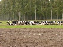 Vacas que pastan. Fotografía de archivo libre de regalías