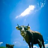 Vacas que pastan Imágenes de archivo libres de regalías